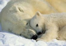 Фотообои 1-605 Polar Bears